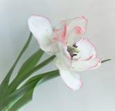 Un tulipán blanco Imágenes de archivo libres de regalías