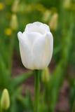 Un tulipán blanco en un fondo de verdes y de tulipanes del amarillo Fotografía de archivo
