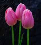 Un tulipán en la lluvia Fotos de archivo