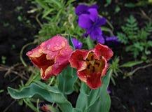 Un tulipán florece los flores con el primer de las hojas Fotografía de archivo libre de regalías