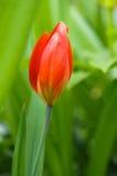 Un tulipán rojo Fotos de archivo