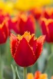 Un tulipán rojo-amarillo en un fondo de tulipanes rojos y amarillos Imagen de archivo libre de regalías
