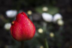 Un tulipán rojo con descensos del agua Foto de archivo libre de regalías