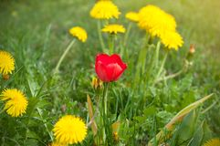Un tulipán rojo entre un campo de dientes de león amarillos en primavera fotos de archivo libres de regalías