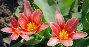 Un tulipán rojo-florecido es visitado por una abeja Imagen de archivo libre de regalías