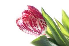 Un tulipán rosado Foto de archivo libre de regalías