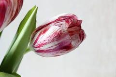 Un tulipán rosado Fotografía de archivo