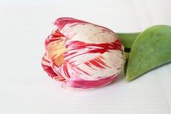Un tulipán rosado Imágenes de archivo libres de regalías