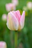 Un tulipán rosado en un fondo verde Foto de archivo