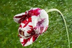 Un tulipán solo Imagen de archivo libre de regalías