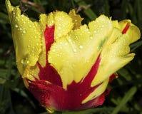 Un tulipano Fotografia Stock Libera da Diritti