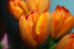 Un tulipano arancio Immagini Stock Libere da Diritti