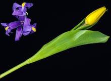 Un tulipano con un'iride Fotografia Stock Libera da Diritti