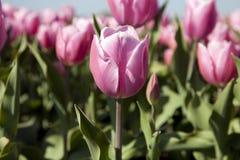 Un tulipano dentellare Fotografie Stock