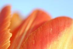 Un tulipano e fogli. Macro. Immagine Stock