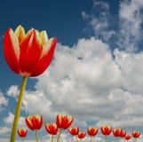 Un tulipano e un cielo blu Fotografia Stock Libera da Diritti