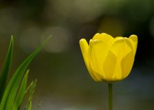 Un tulipano giallo Immagine Stock Libera da Diritti