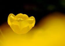 Un tulipano giallo Fotografie Stock Libere da Diritti
