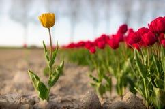 Un tulipano giallo diritto fuori di un campo dei tulipani rossi Immagini Stock Libere da Diritti