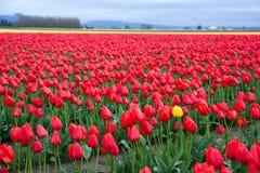 Un tulipano giallo nel campo rosso del tulipano Fotografie Stock Libere da Diritti