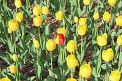 Un tulipano giallo-rosso fra i tulipani gialli impostati Fotografia Stock Libera da Diritti