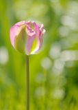 Un tulipano rosa e verde Immagini Stock