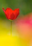 Un tulipano rosso Immagini Stock Libere da Diritti