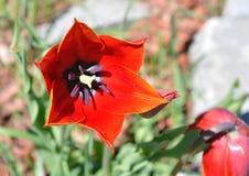Un tulipano rosso che accoglie favorevolmente il Sun un giorno di primavera caldo Fotografia Stock