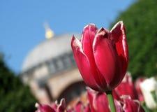 Un tulipano rosso davanti a Hagia Sophia - COSTANTINOPOLI - la TURCHIA Fotografia Stock