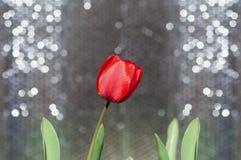 Un tulipano rosso sopra Immagini Stock