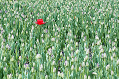 Un tulipano sbocciante rosso sul campo Immagine Stock