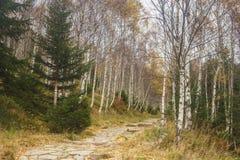Un turista camina en el bosque del abedul en el otoño Imagenes de archivo