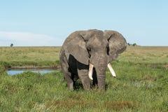 Un tusker africain d'éléphant de Bush alimentant près d'un point d'eau photos stock