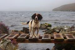 Un type fonctionnant épagneul de sauteur anglais par un lac Photographie stock
