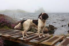 Un type fonctionnant épagneul de sauteur anglais par un lac Image stock