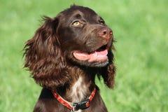 Un type fonctionnant brun chien de chasse d'animal familier de cocker Photographie stock
