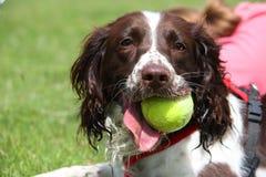 Un type fonctionnant chien de chasse d'épagneul de springer anglais Images libres de droits