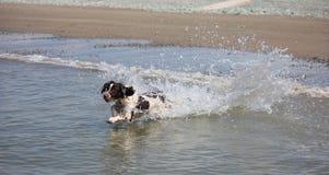 Un type fonctionnant chien de chasse d'épagneul de springer anglais en mer Photo stock