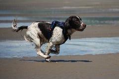 Un type fonctionnant chien de chasse d'épagneul de springer anglais sur une plage Image libre de droits