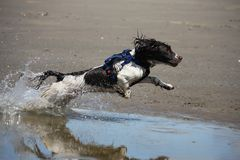 Un type fonctionnant chien de chasse d'épagneul de springer anglais sur une plage Image stock