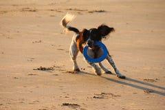 Un type fonctionnant chien de chasse d'épagneul de springer anglais sur une plage Photo libre de droits