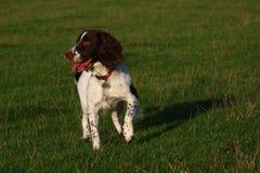 Un type fonctionnant chien de chasse d'animal familier d'épagneul de springer anglais attendant patiemment sur une pousse Images libres de droits