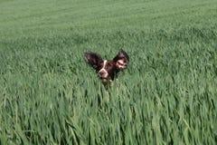 Un type fonctionnant chien de chasse d'animal familier d'épagneul de springer anglais dans un domaine des cultures vertes Photos stock