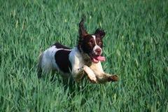 Un type fonctionnant chien de chasse d'animal familier d'épagneul de springer anglais dans un domaine des cultures vertes Image stock