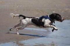 Un type fonctionnant chien de chasse d'animal familier d'épagneul de springer anglais fonctionnant sur une plage sablonneuse Photographie stock libre de droits