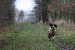 Un type fonctionnant chien de chasse d'animal familier d'épagneul de springer anglais fonctionnant sur une pousse Photographie stock libre de droits