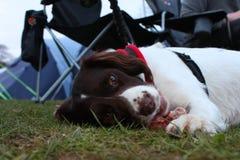 Un type fonctionnant chien de chasse d'animal familier d'épagneul de springer anglais mangeant de la nourriture crue Images stock
