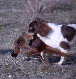 Un type fonctionnant chien de chasse d'animal familier d'épagneul de springer anglais portant un faisan mort Image libre de droits