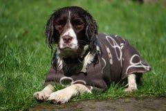 Un type fonctionnant chien de chasse d'animal familier d'épagneul de springer anglais portant un manteau Image stock