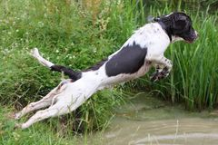 Un type fonctionnant chien de chasse d'animal familier d'épagneul de springer anglais sautant dans l'eau Photos libres de droits